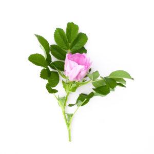 Roseslekta